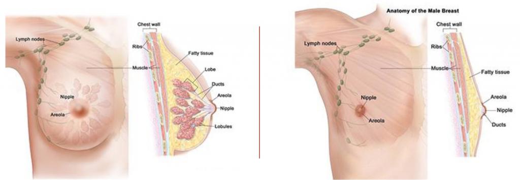 หน้าอกผู้หญิงและผู้ชายต่างกันอย่างไร male vs female breast anatomy